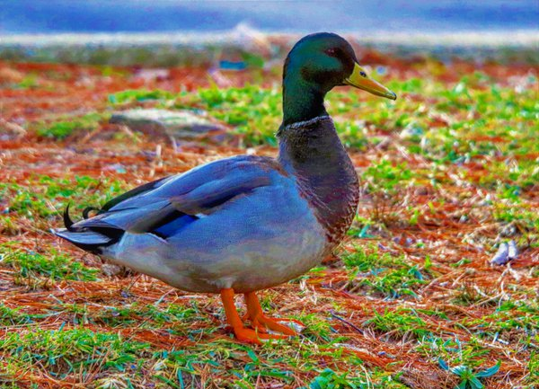 Male Mallard Duck thumbnail