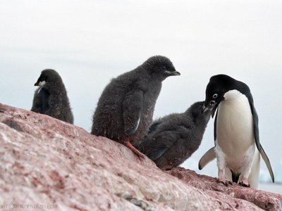 """Though the mummified penguins died years ago due to """"extreme climatic anomalies,"""" modern day penguins are still at risk of the same fate in today's changing climate."""