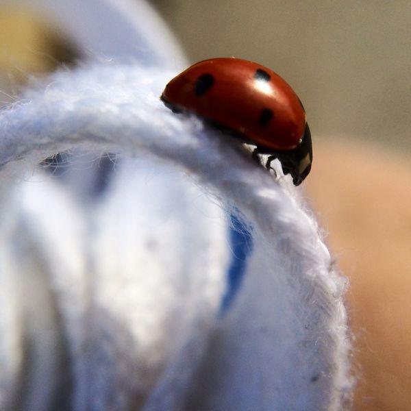 Ladybug on white shoe laces thumbnail