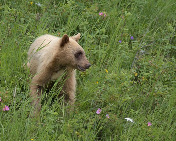 Blonde bear cub pauses from foraging alert to the sounds in the woods. thumbnail