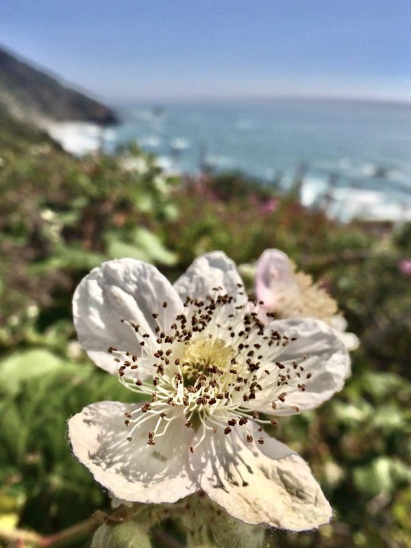 blackberry blossom beside the blue bay thumbnail