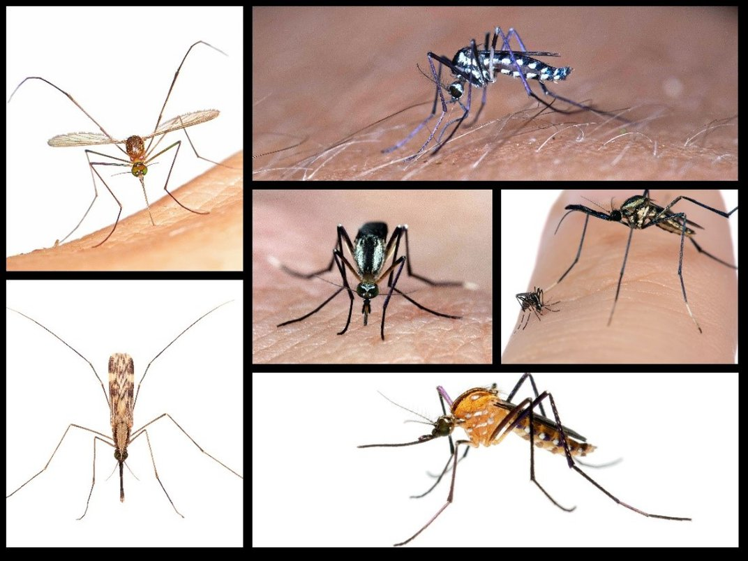 Collage showing six different mosquito species