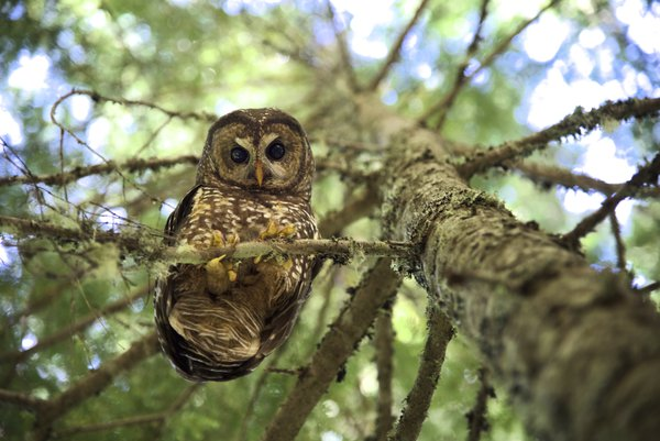 Spotted Owl Looking Down at Photographer  thumbnail