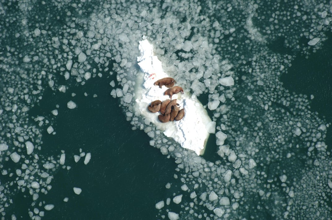Melting Sea Ice Forces Walruses Ashore in Earliest Gathering Yet Observed