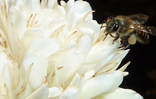 Even Bees Get a Buzz When They Drink Caffeine