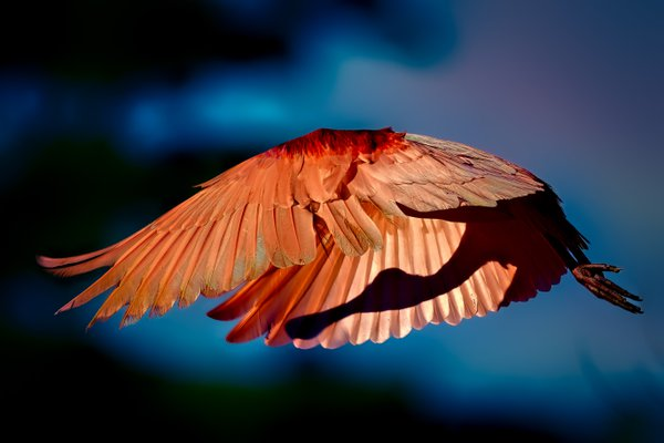 A Roseate Spoonbill illuminated by the early morning sun. thumbnail