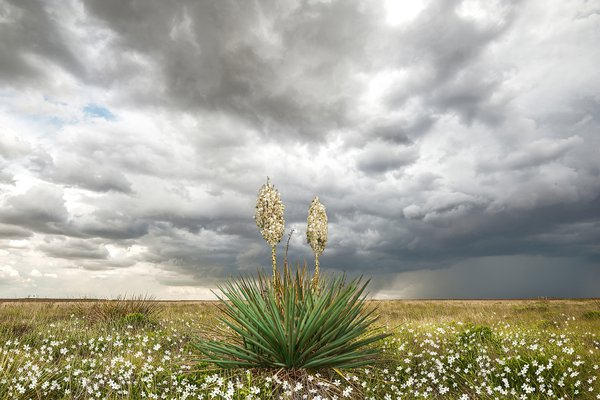 Wildorado Yucca thumbnail