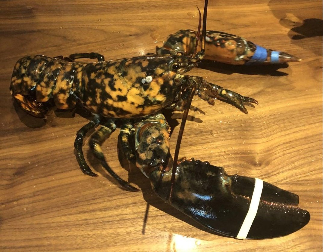 Virginia Museum Rescues 'Freckles' the Calico Lobster From the Dinner Menu