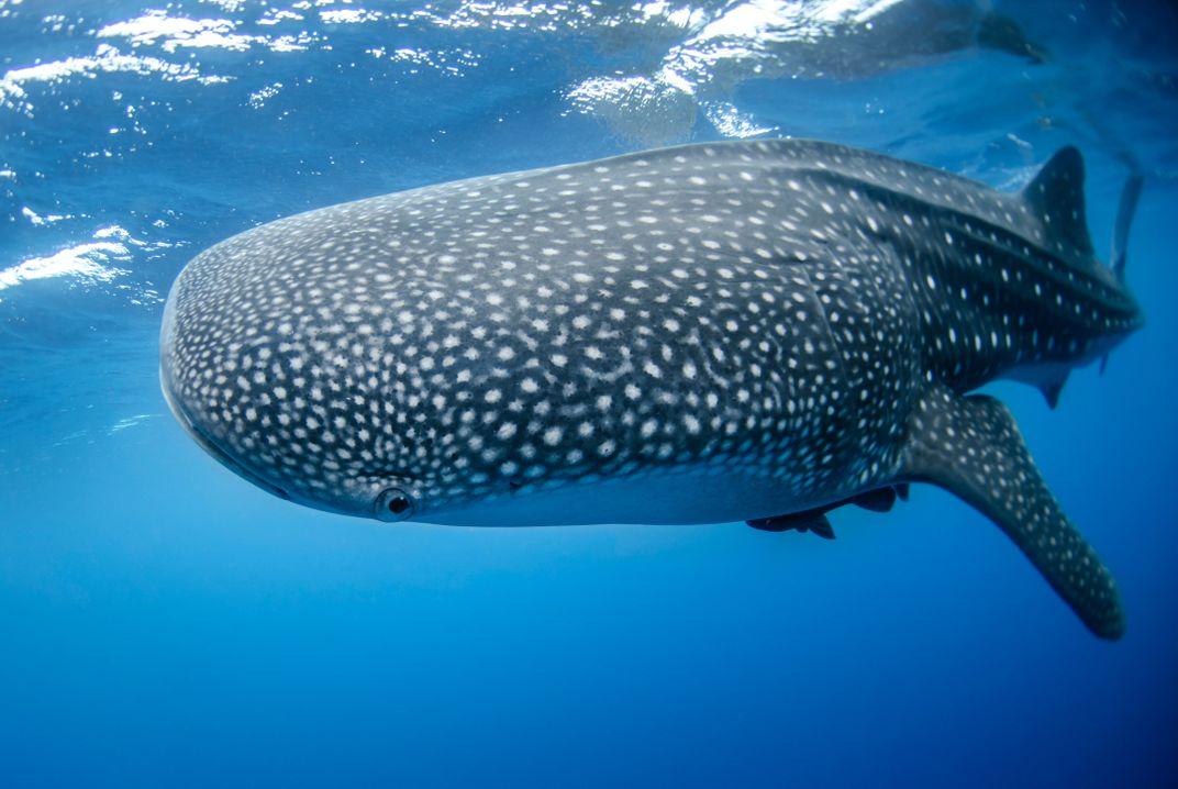 A whale shark swimming through blue water.