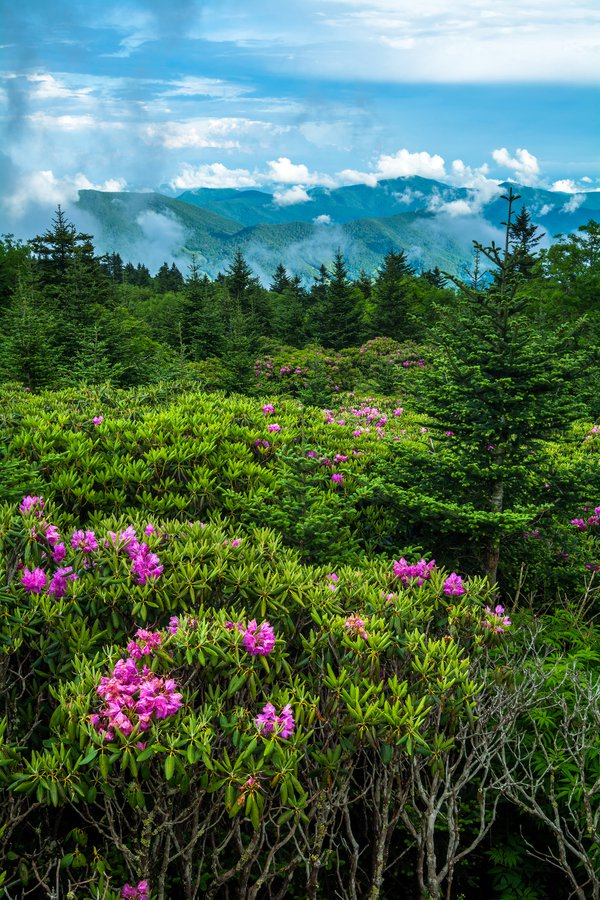 Rhododendrons in the Highlands thumbnail