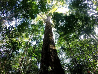 One of the Dinizia excelsa or angelim vermelho trees, which can grow over 80 meters. The tallest, as measured by satellite, towered 88.5 meters above the forest floor.