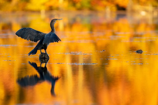 Cormorant in Autumn Glow thumbnail