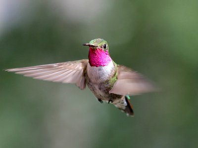 A male Broad-tailed Hummingbird photographed at the Rocky Mountain Biological Laboratory in Gothic, Colorado, where researchers conducted field experiments on avian color vision.