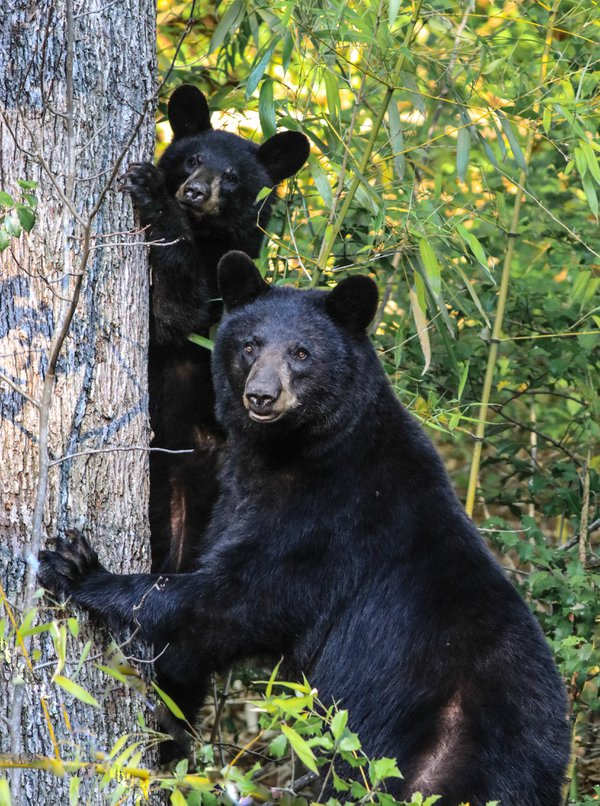 Ma Ma Black Bear and her Cub thumbnail