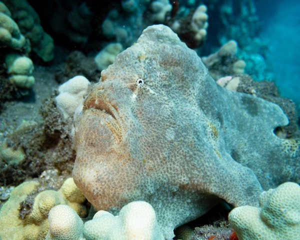 Frogfish hiding in plain sight thumbnail