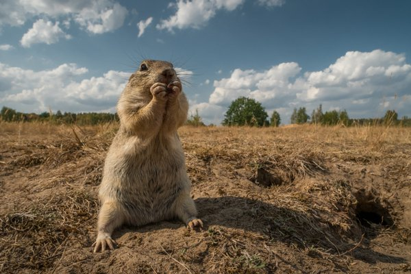 Ground squirrel thumbnail