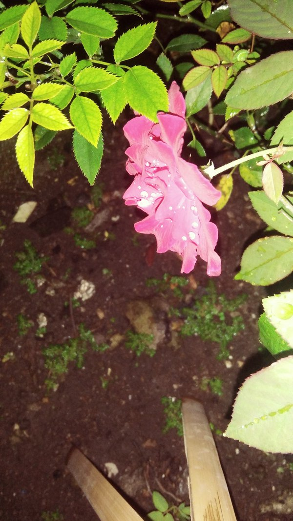 A pink rose in my neighbor's garden thumbnail