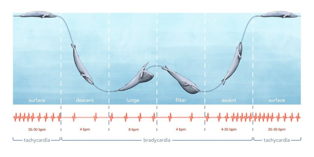 Researchers Measure a Wild Blue Whale's Heart Rate for the First Time