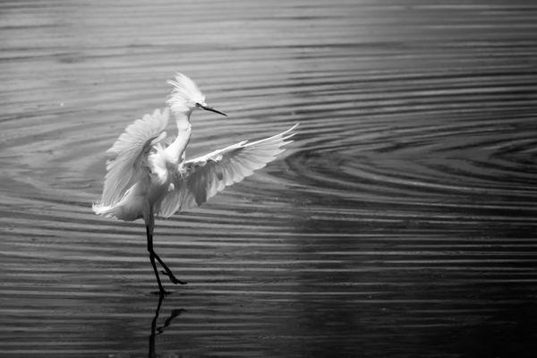 The Egret Dance thumbnail