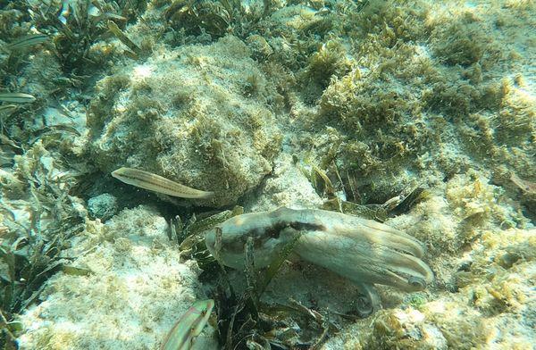 Octopus in Aruba 8 thumbnail