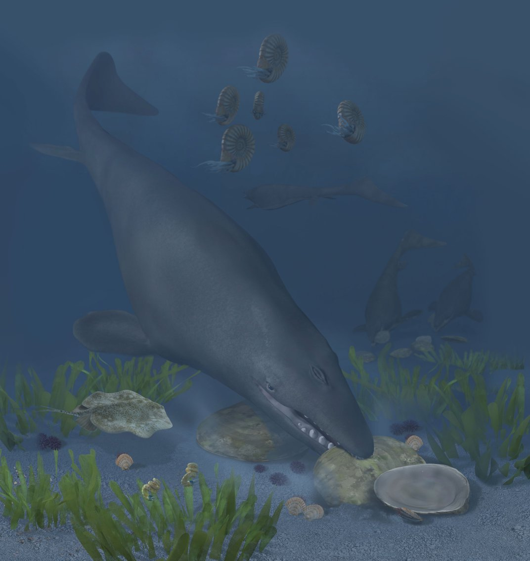 """A mosasaur (Globidens phosphaticus) crunching huge, hard-shelled oysters on a shallow shelf off Bentiaba, Angola, 72 million years ago. Fossils from this species will be on display in """"Sea Monsters Unearthed,"""" opening November 9."""