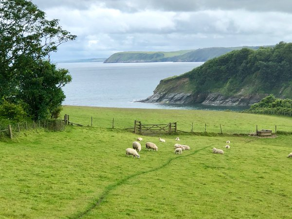 Sheep in Green Pastures thumbnail