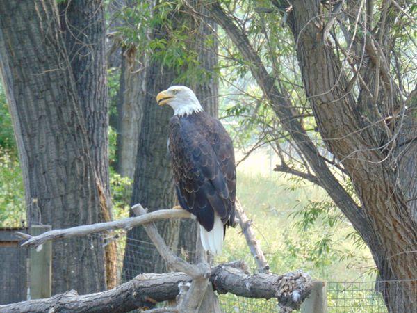 An American Bald Eagle thumbnail