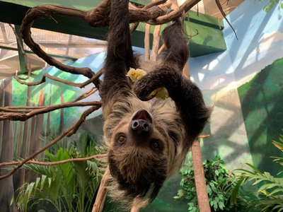 Athena, a two-toed sloth who recently made her debut at the National Zoo.