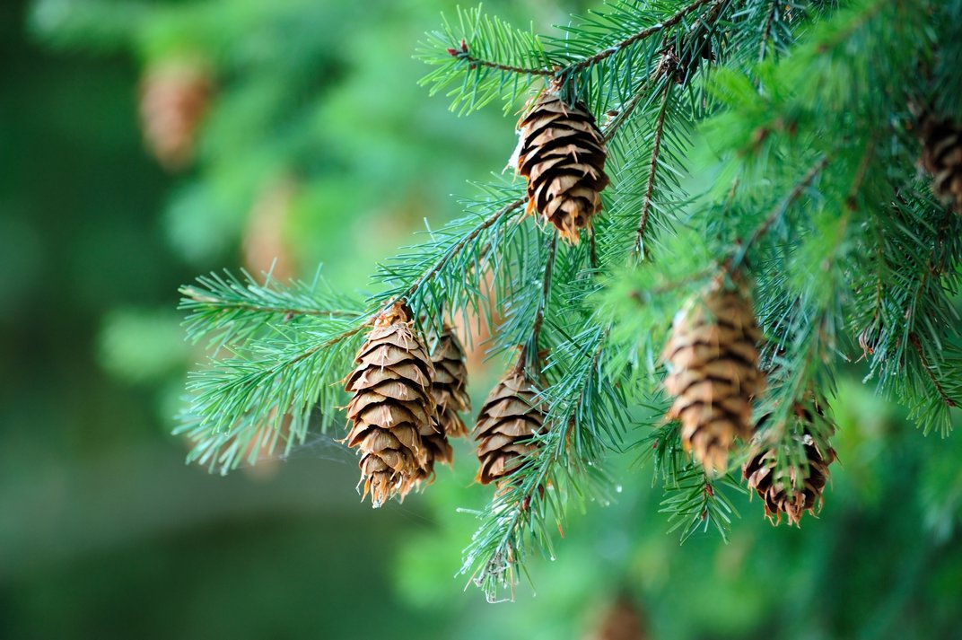 Conifer trees grow narrow needles that always stay green.
