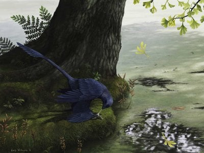 A Microraptor, a small four-winged dinosaur that could fly, eats a fish.