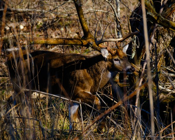 Whitetail Buck thumbnail