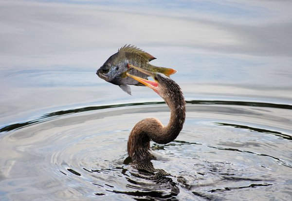 An Anhinga dives down and emerges to swallow his dinner whole. thumbnail