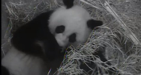 PHOTO and VIDEO: First Glimpse of the National Zoo's Baby Panda