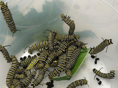 Monarch butterfly caterpillars will headbutt each other when food is scarce, according to new research.