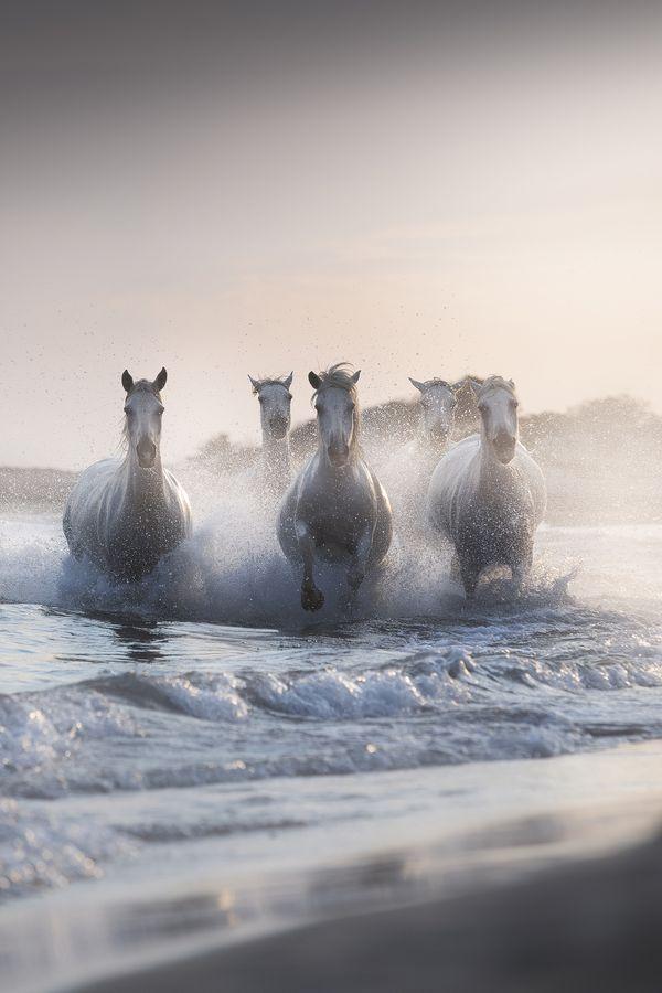 Camargue horses.