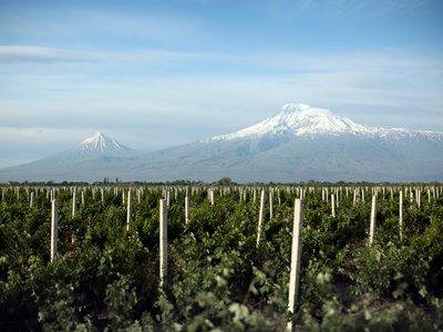 Wine grapes grow in the shadow of Mount Ararat.
