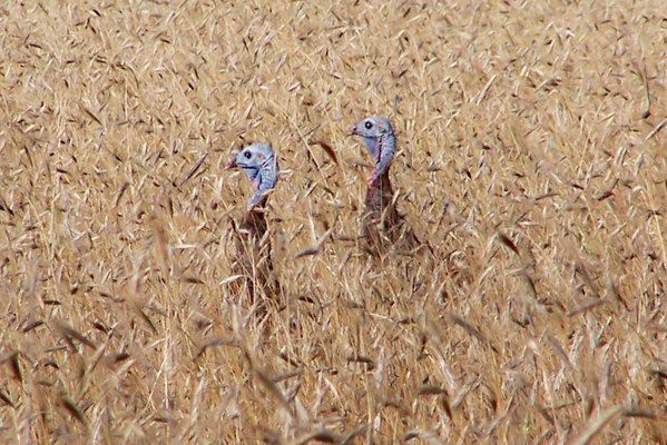 """Wild turkey chicks """"hiding"""" in field of wheat. They stuck heads up like periscopes. thumbnail"""
