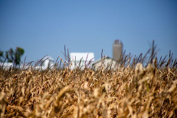 Wheat field in front of farm thumbnail