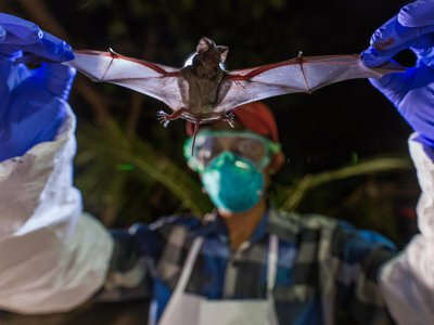 Scientists with Smithsonian's Global Health Program examine a wrinkle-lipped bat, which can harbor a never-before-seen virus.
