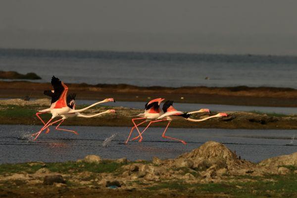 Lesser Flamingos  thumbnail