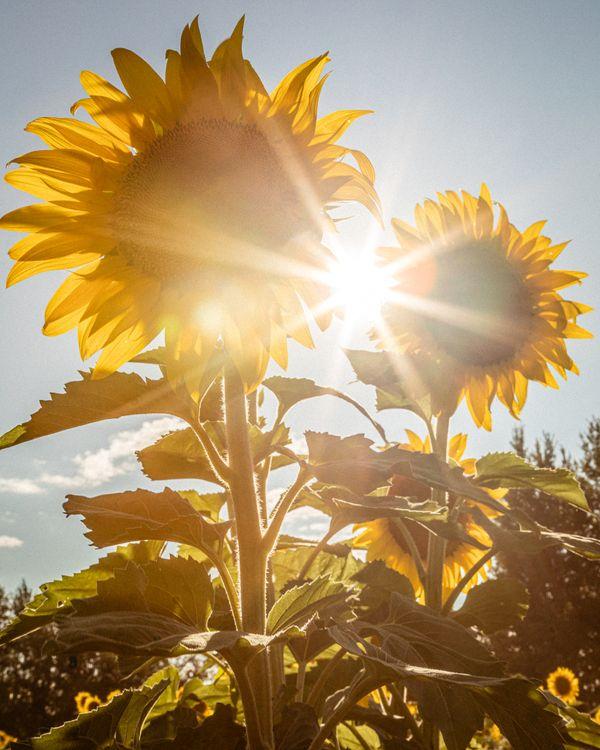 Sun Flower Sun Burst thumbnail