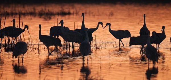 Sandhill Cranes after Sunset thumbnail