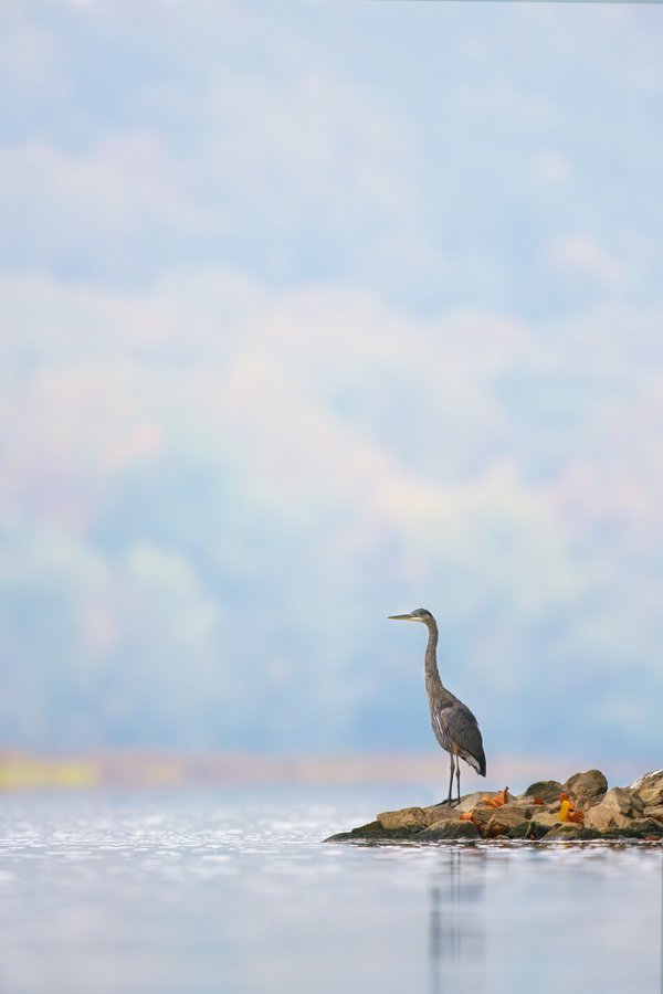 Great blue heron - A portrait thumbnail