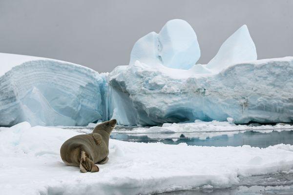 Crabeater Seal resting in Antarctica thumbnail