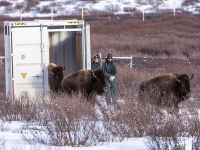 Bison returning to Banff
