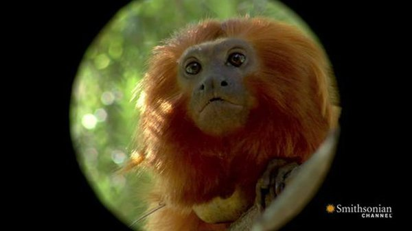 Preview thumbnail for Meet the Golden Lion Tamarins of the National Zoo!