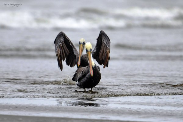 Pacific Ocean Pelicans thumbnail