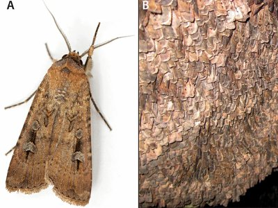 Bogong moths were traditionally ground into pastes or cakes. Pictured here are a single moth (left) and thousands of moths resting on a rock (right).