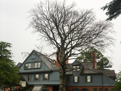 The Cooper beech tree during its removal at Sagamore Hill.