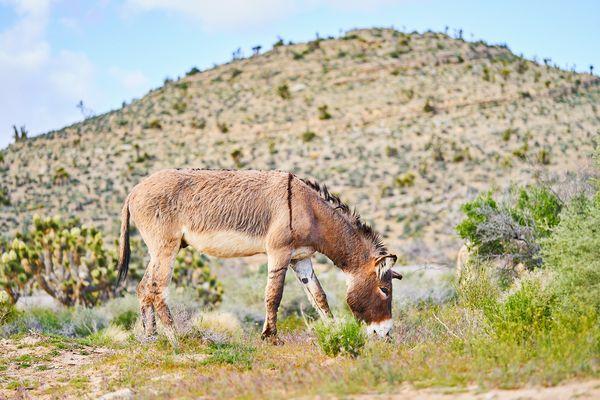The Wild Burros of Nevada thumbnail